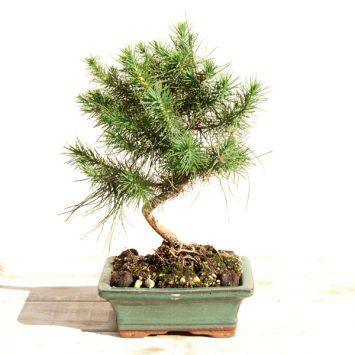 Bonsái Pinus halepensis 6 años