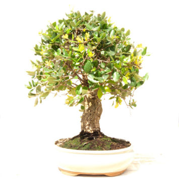 Bonsái Quercus de 22 años