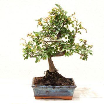 Bonsái Zelkova palvifolia