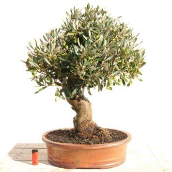 Bonsai olivera de 18 años