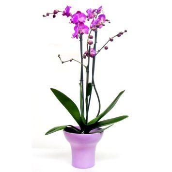 Planta orquídea fucsia