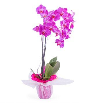 Planta de orquidea - Índico - Envío de Flores a Domicilio