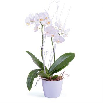 Planta de Phalaenopsis Premium - Envío de Flores a Domicilio
