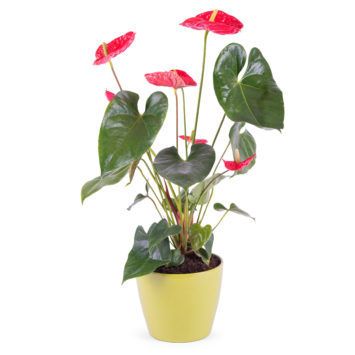 Planta de Anthurium - Envío de Flores a Domicilio