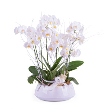 Centro de plantas de Phalaenopsis blancas - Envío de Flores a Domicilio