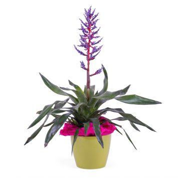 Planta de Viriesia Bromelia - Envío de Flores a Domicilio