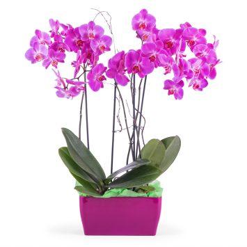 Arreglo de orquideas Phalaenopsis - Envío de Flores a Domicilio