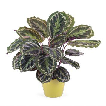 Planta de Calathea - Envío de Flores a Domicilio