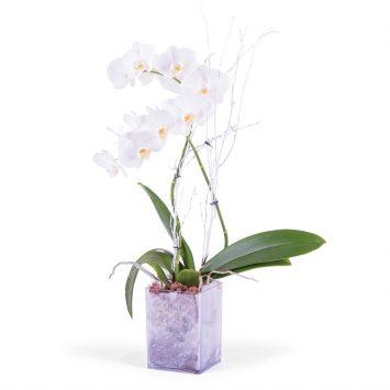 Planta de phalaenopsis Blanca - Envío de Flores a Domicilio
