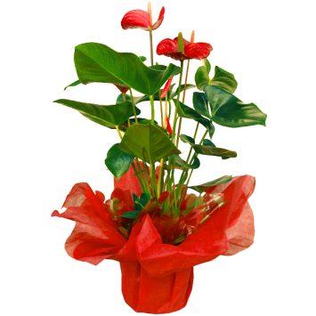 Planta anthurium