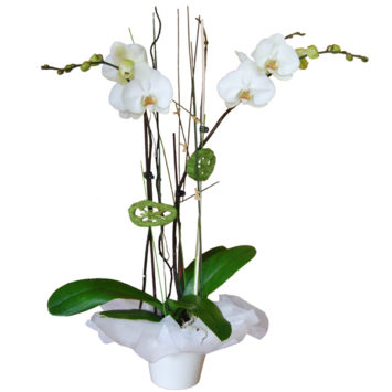 Planta orquidea blanca