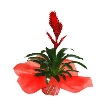 Planta vriesea
