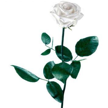 Rosa blanca preservada