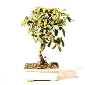 Bonsai naranjo de 17 años