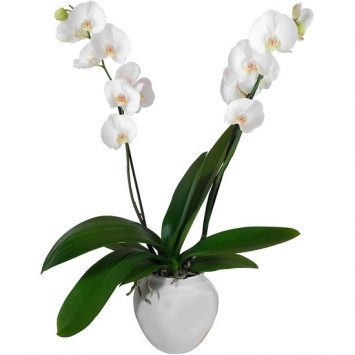 Enviar Orquídea Blanca a domicilio