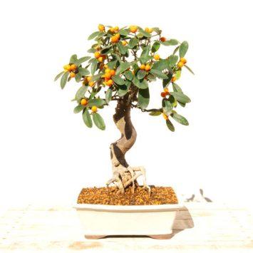 Bonsai naranjo de 18 años