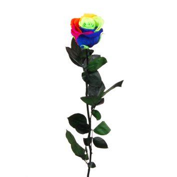 Rosa multicolor preservada